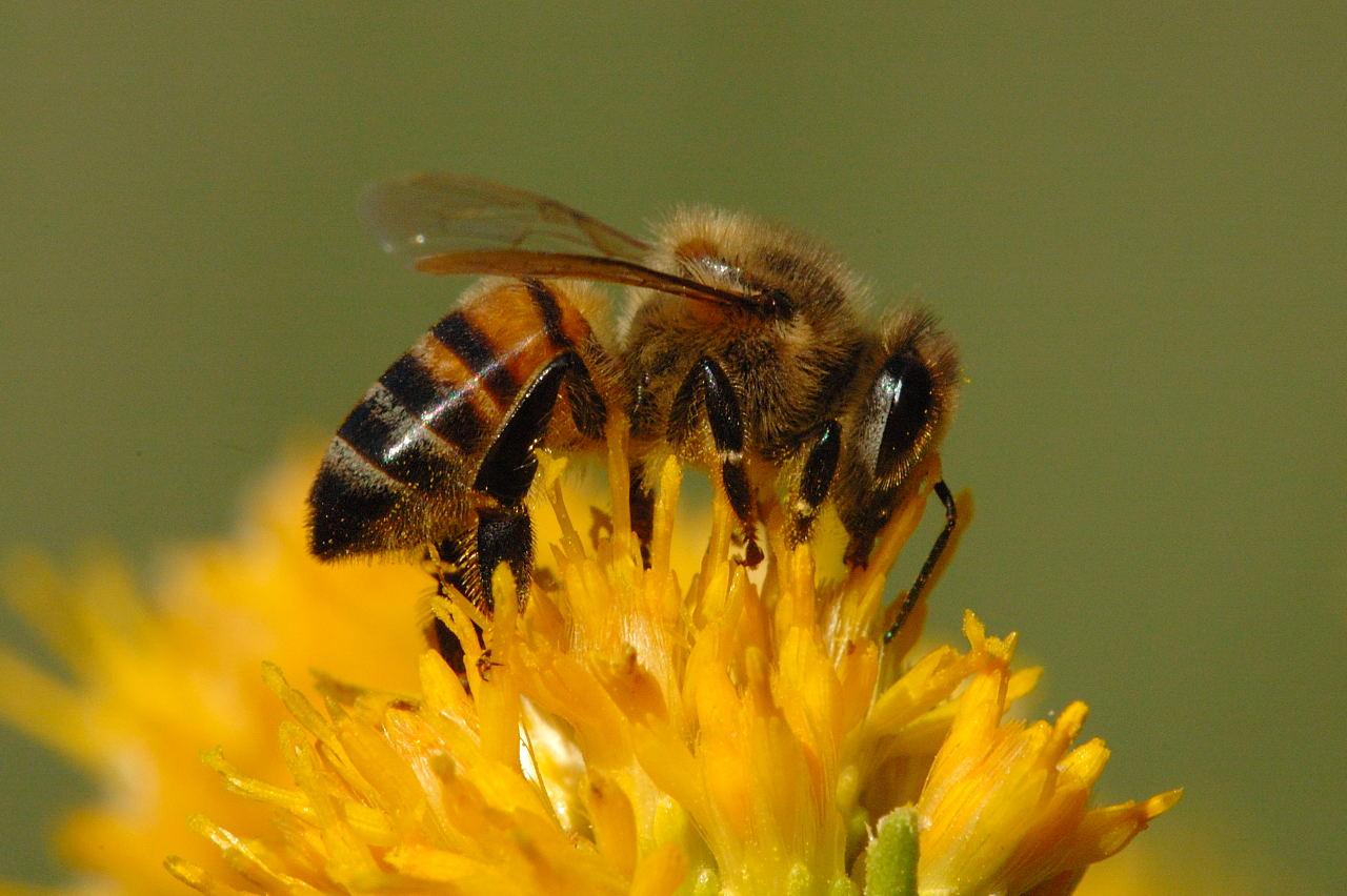 Lebah Madu Pembuat Sarang Yang Sempurna