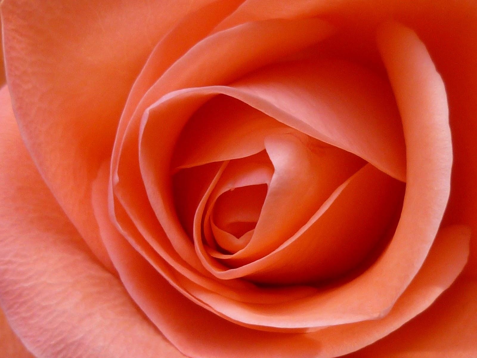 roses-burst