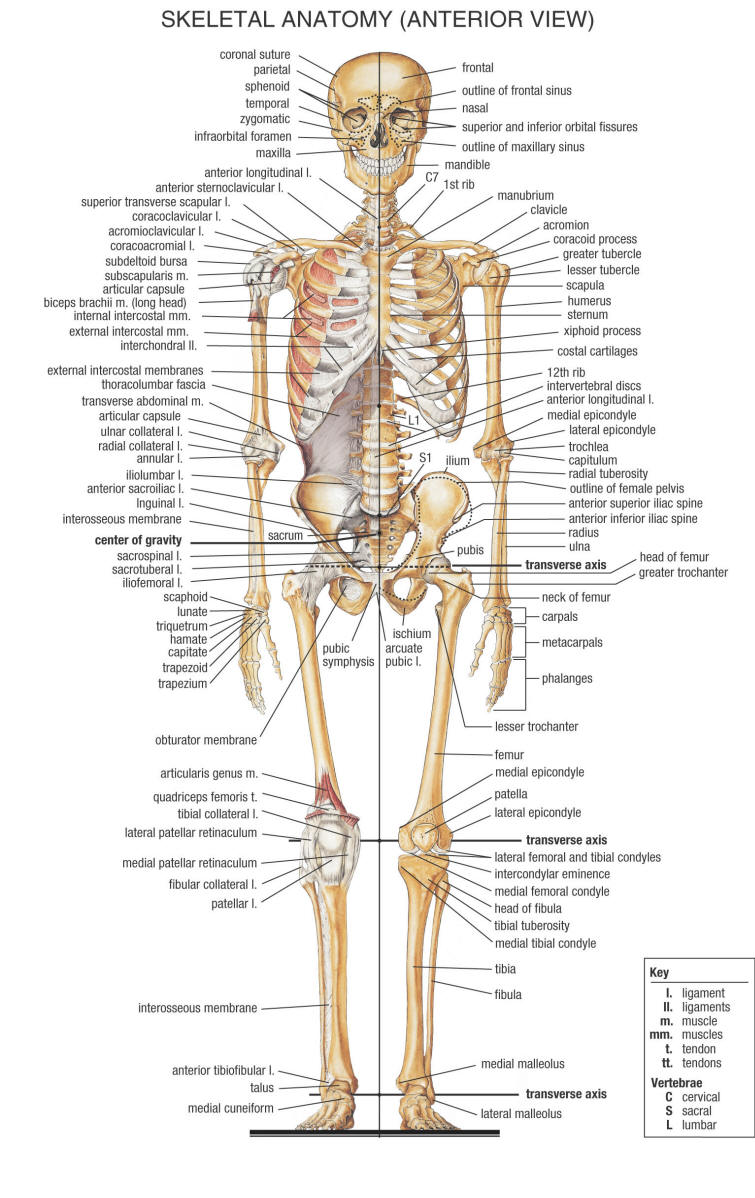 anatomy skeleton
